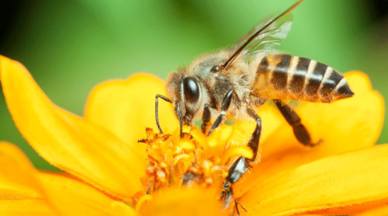 Diminuição de abelhas preocupa especialistas